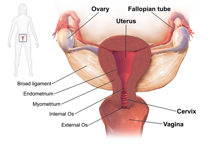 Real Body Bladder Full Human Picture