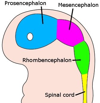 This is a drawing of an embryo brain at four weeks that shows how it differentiated. The embryo's brain is differentiated into the proscephalon, mesencephalon, and rhombencephalon. A white circle represents the area of the optical vesicle.