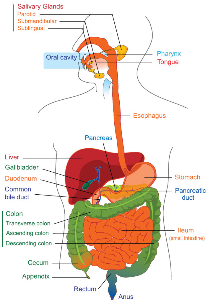 22.1A: Anatomy of the Digestive System - Medicine LibreTexts
