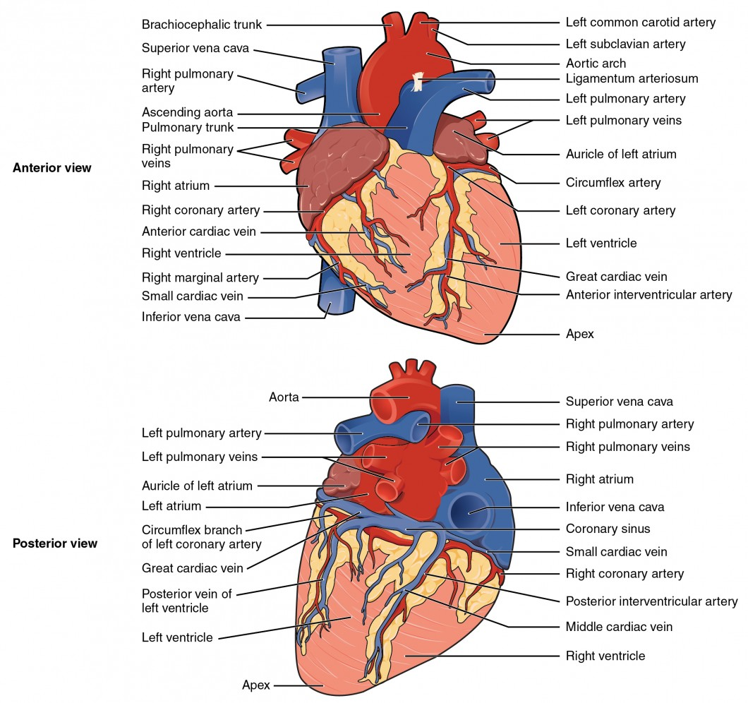 Anatomy And Physiology Labeling Worksheet