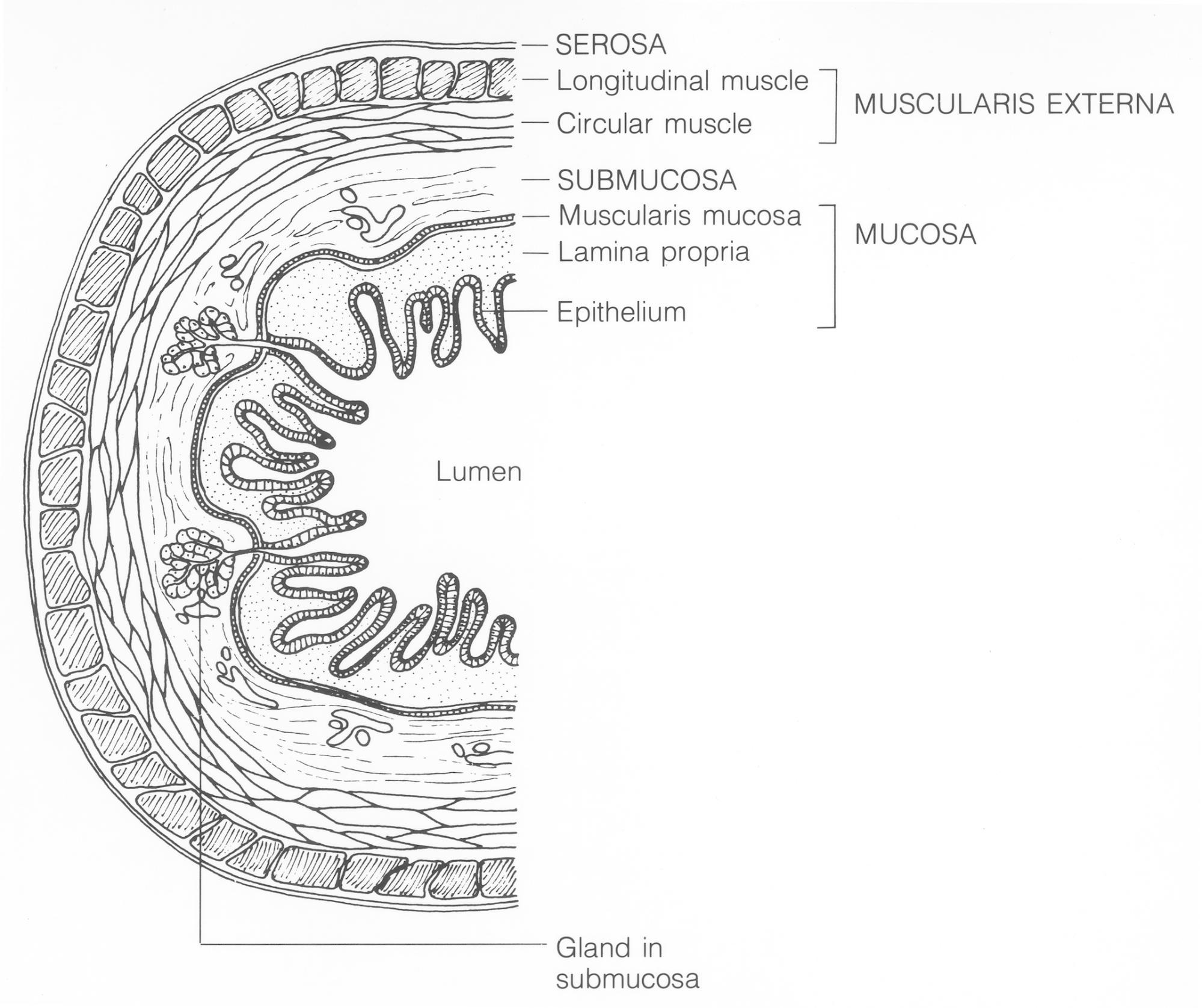 3 4 Small Intestine