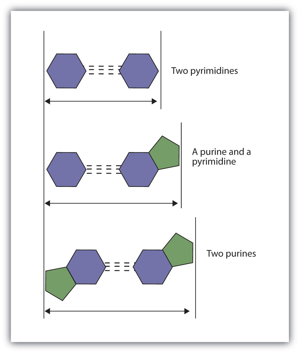 19 2 Nucleic Acid Structure