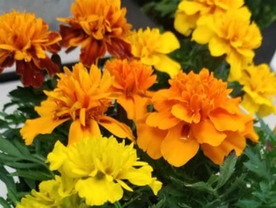 Marigolds plants dogs should avoid