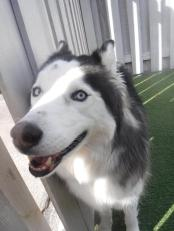 Mishka eavesdropping through the fence in the large outdoor playground!