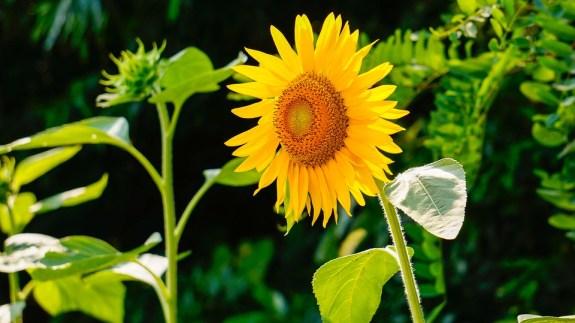 sunflower-290496_960_720-cr-shinhee74