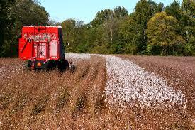 Cotton Harvest Luke