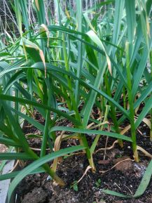 Russian giant garlic two to four weeks from harvest depending on rainfall.