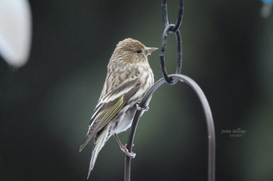 Pine Siskin (photo by Jessica Millsaps, courtesy of Juneau Audubon Society)