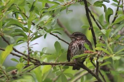 Song Sparrow (photo by Jessica Millsaps, courtesy of Juneau Audubon Society)