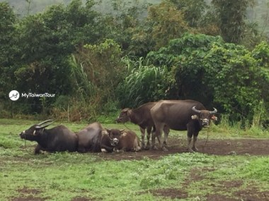 15 -Water Bison in East Taiwan