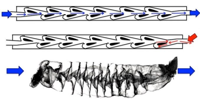 diagram of a tesla valve and similar shark spiral intestine