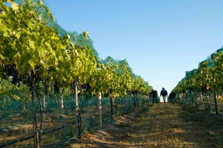 Tending vines at Tertulia Cellars. Photo by Greg Lehman