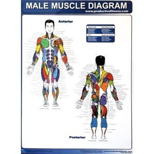 Productive Fitness Exercise Poster Series  Muscle