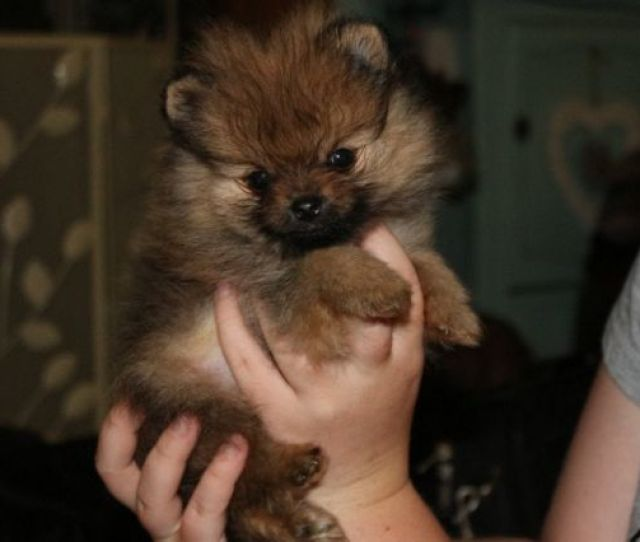 Baby Pomeranian Puppies For Sale