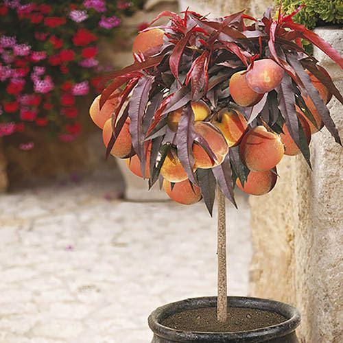 red leaved patio peach crimson bonfire tree