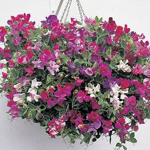 Trailing Plants Hanging Pots