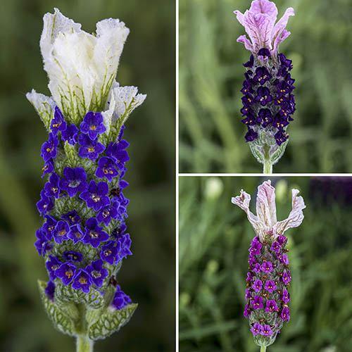 french lavender lavandula stoechas castilliano