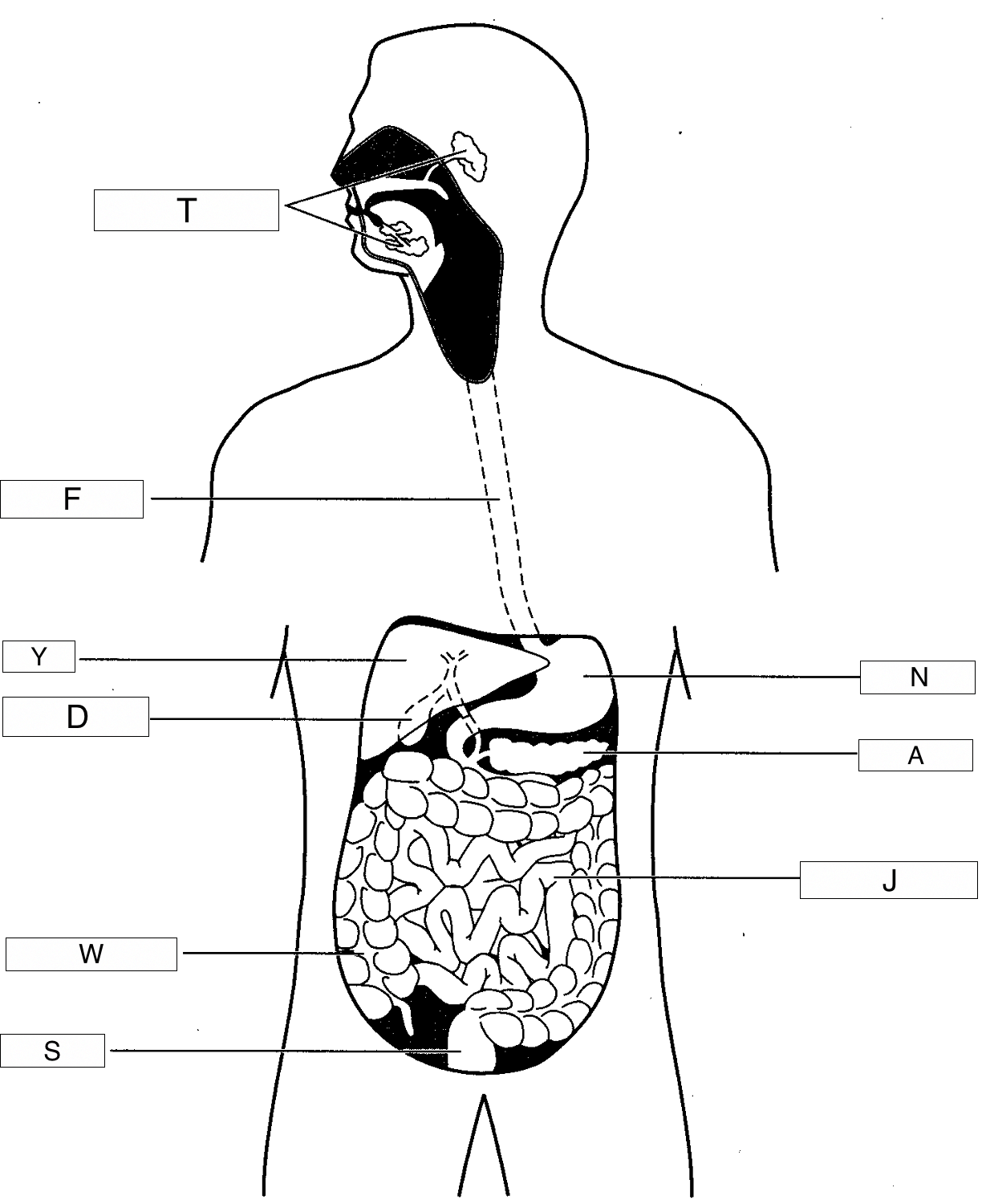 A Diagram Of Digestive Track