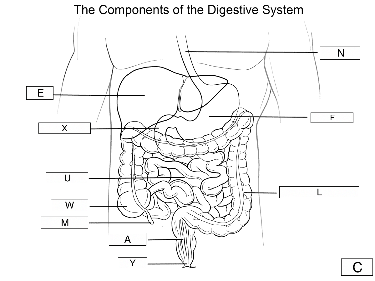Blank Diagram Of The Digestive System