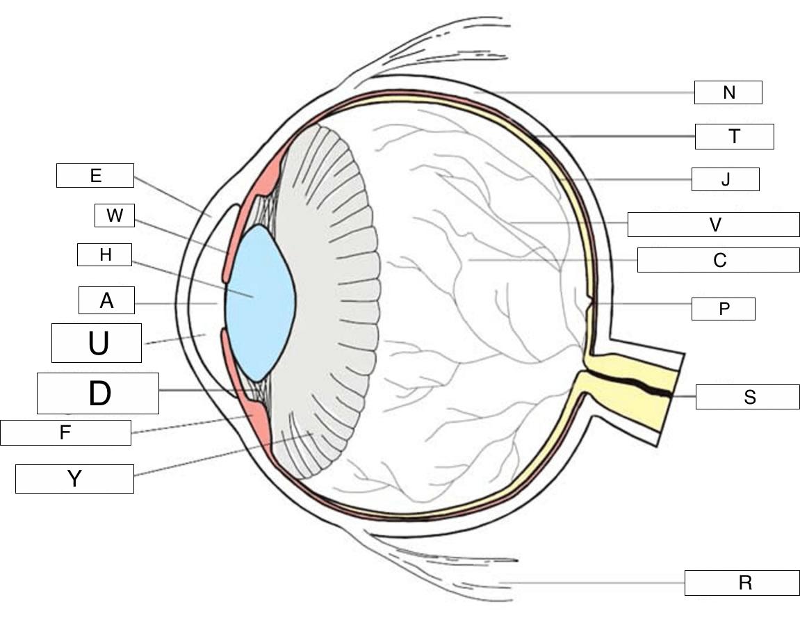Printables Of The Human Eye Worksheet Ks2