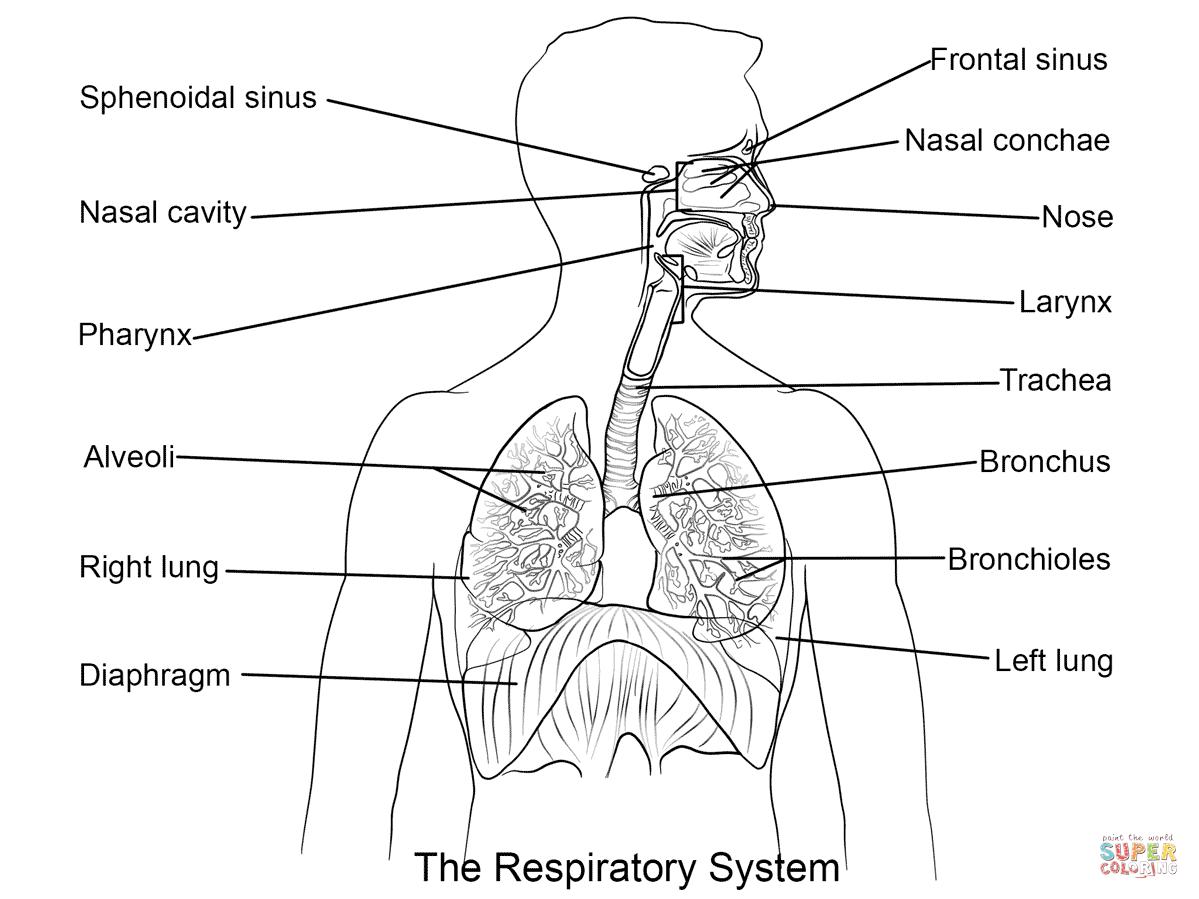 Respiratory System Diagram Black And White