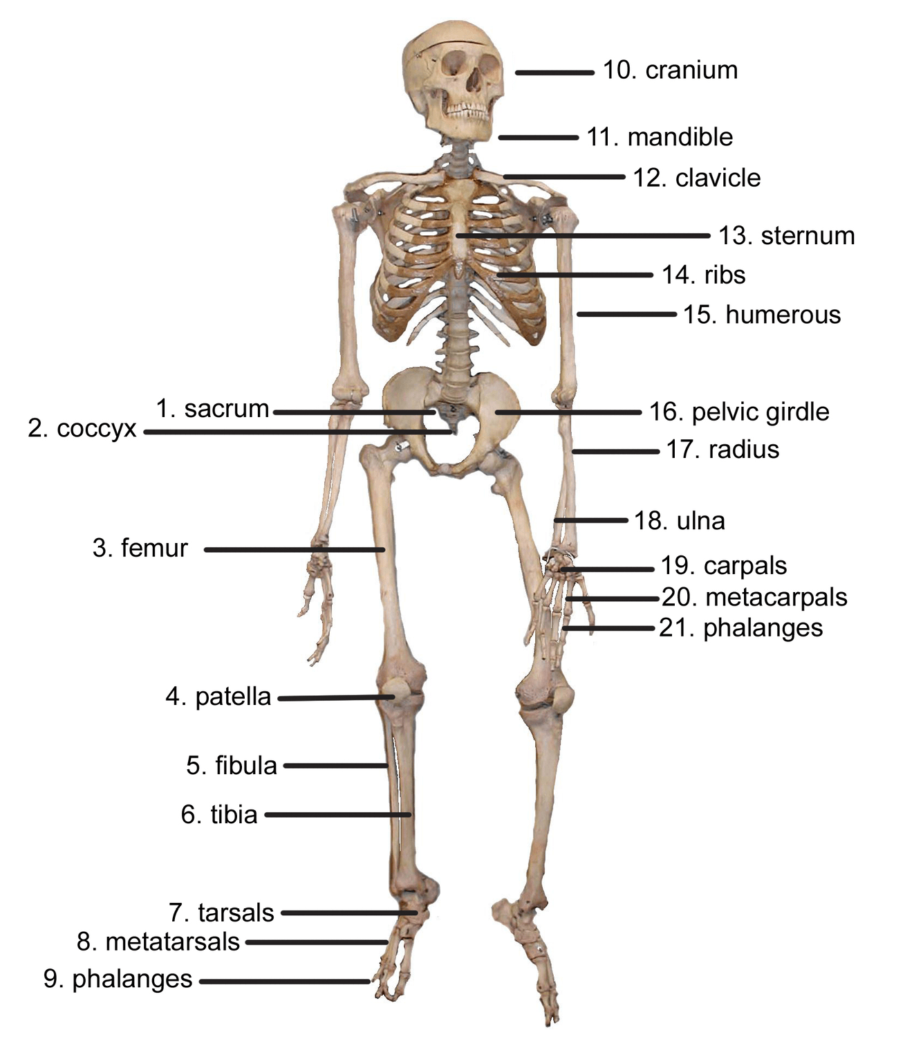 The Skeletal System Lesson