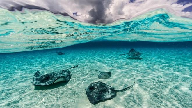Las rayas nadan cerca de las islas Gran Caimán