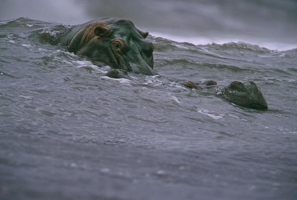 """""""Hipopótamos surfistas"""" (Michael Nichols, Gabón, 2000)"""