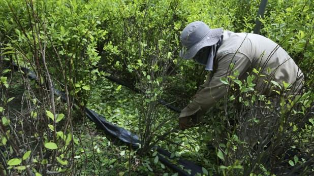 La demora en el plan de sustitución de cultivos ilícitos ha sido un factor detonante para que poblaciones como Argelia se enfrenten contra el Ejército.