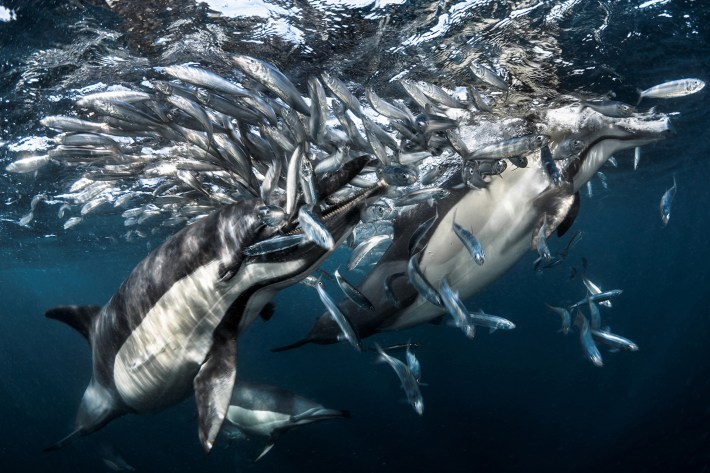 Delfines alimentádose de sardinas. Fotografiado por Greg Lecoeur cerca de Port Saint Johns, Sudáfrica, el 27 de junio de 2016