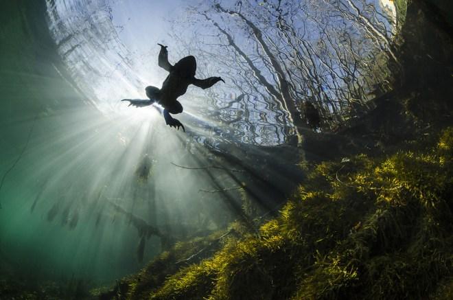 Yannick Gouguenheim fotografó a este sapo en el río Lamalou de Francia el 19 de abril de 2014