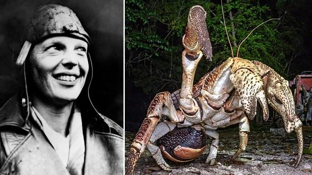 La aviadora Amelia Earhart y un cangrejo cocotero. ¿Fueron estos animales los que se comieron los restos de la genial aviadora?