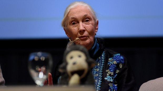 Jane Goodall hizo destacó el alto grado de contaminación que genera en todo el mundo la industria cárnica y la cría de ganado. (Nicolás Stulberg)