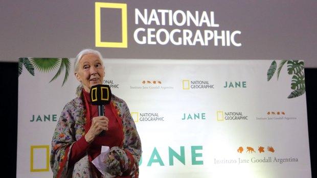 """Avant premier de """"Jane"""", el documental que cuenta la fascinante vida de Goodall. (National Geographic)"""