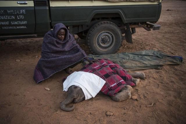Warriors Who Once Feared Elephants Now Protect Them – Guerreros que alguna vez temieron a los elefantes ahora los protegen: los elefantes huérfanos y abandonados son rehabilitados y devueltos a la naturaleza, en el Santuario de Elefantes Reteti, propiedad de la comunidad, en el norte de Kenia. (Ami Vitale, Estados Unidos)