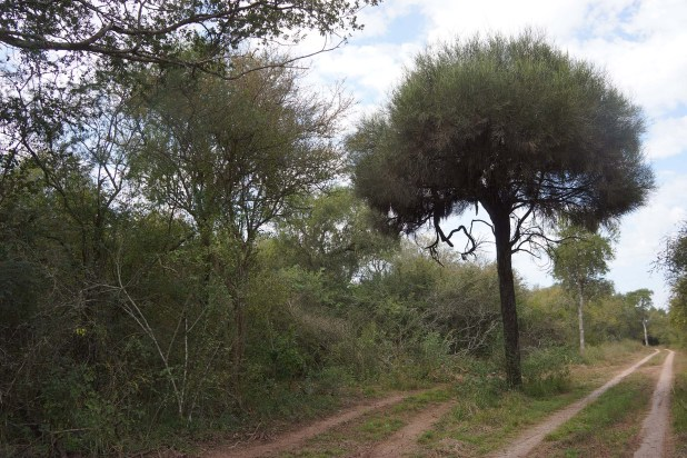 Un hermoso ejemplar de itín o carandá, un árbol de madera dura y oscura (Raquel Peiro)