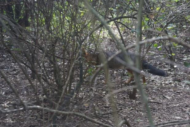 Bastante confiado, un zorro gris merodea el campamento (Raquel Peiro)