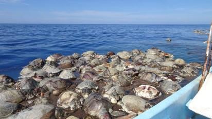 Las tortugas golfinas que aparecieron en Oaxaca estaban en estado de (Foto: archivo)