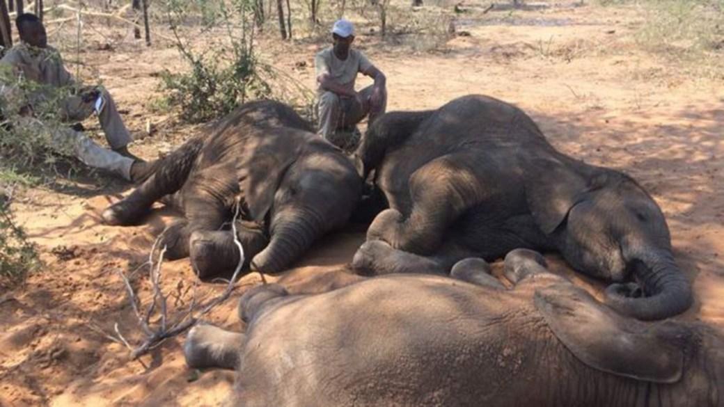Cerca de 90 cadáveres de elefantes fueron encontrados