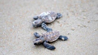 Autoridades mexicanas intentan proteger a las especies de tortugas marinas (Foto: AFP)