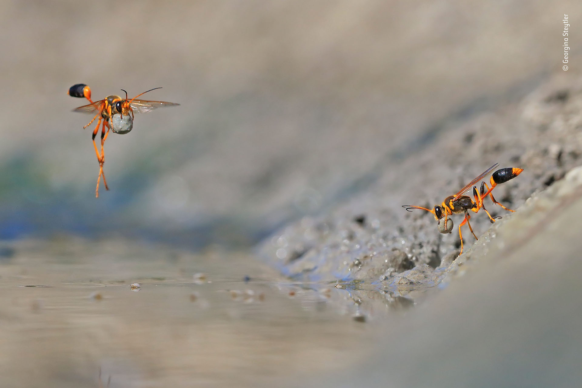"""Georgina Steytler (Australia), categoría Comportamiento de invertebrados. """"Mud-Rolling Mud-Dauber"""", avispas recolectan pequeñas gotas de lodo para construir sus nidos, en una reserva de Australia"""