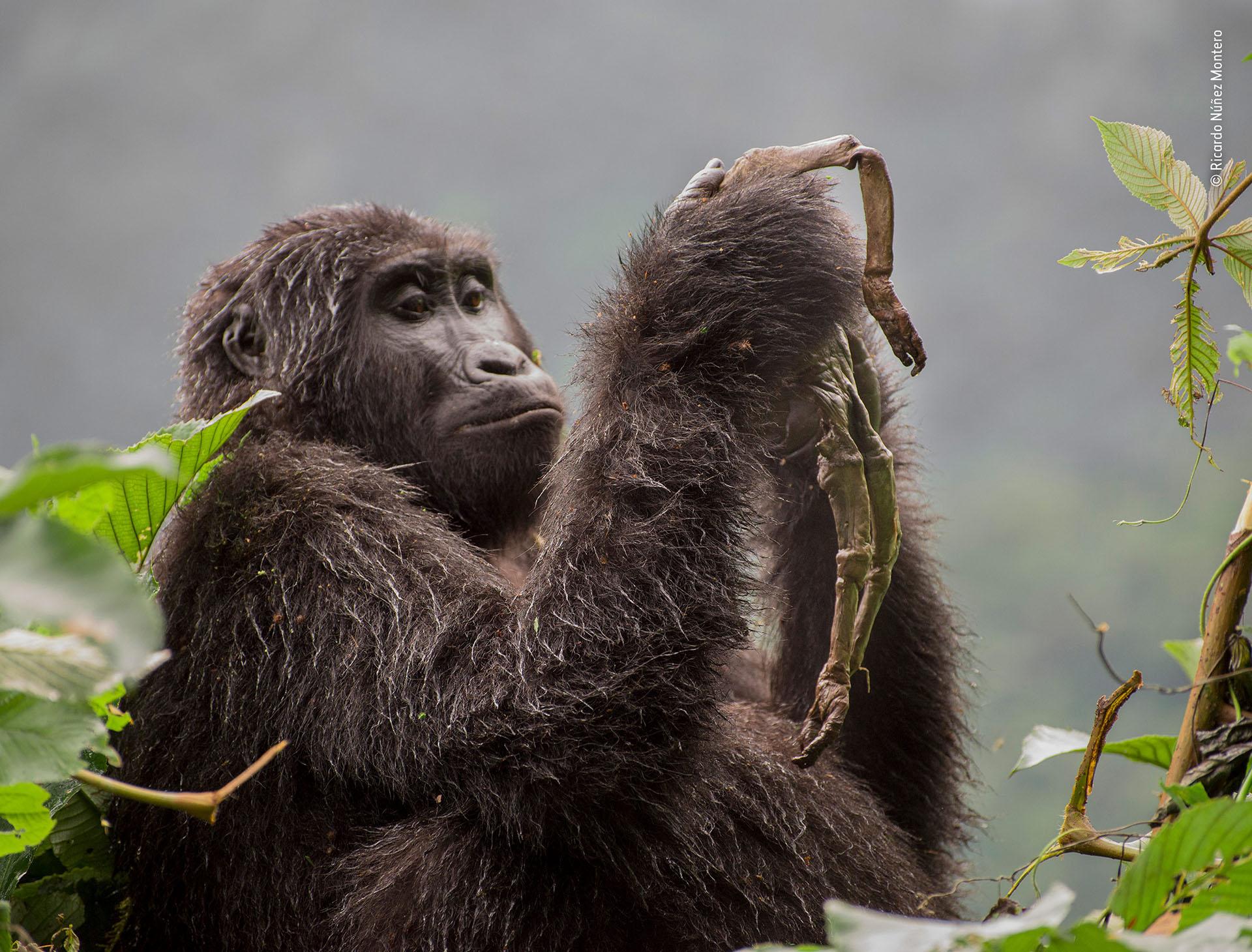 """Ricardo Núñez Montero (España), categoría Comportamiento de mamíferos. """"Kuhirwa llora a su bebé"""", una gorila sostiene los restos de su fallecida cría en Uganda"""