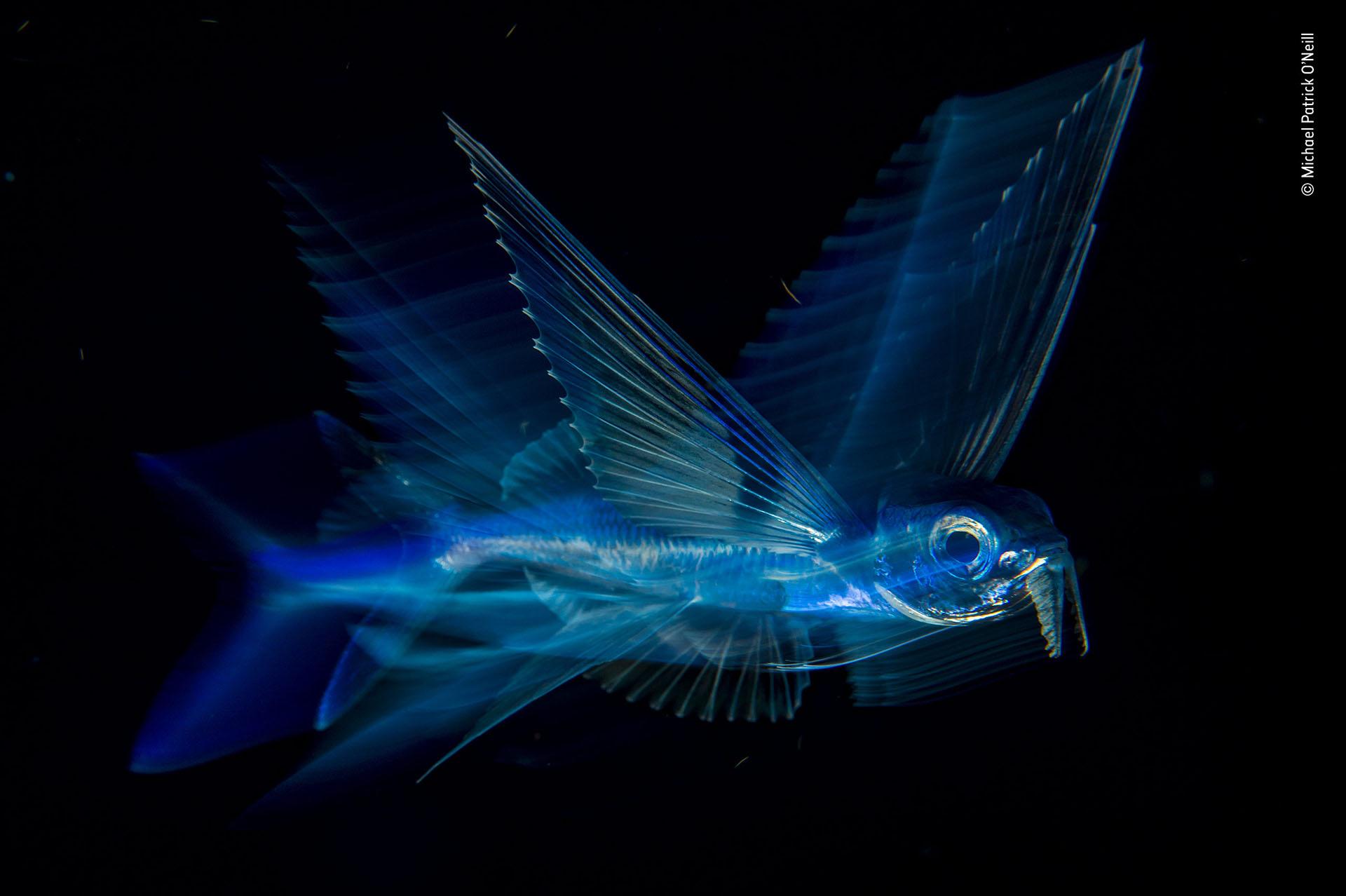 """Michael Patrick O'Neill (EEUU), categoría Bajo agua. """"Vuelo nocturno"""", un pez volador, bajo efecto de movimiento, retratado en Palm Beach, Florida"""