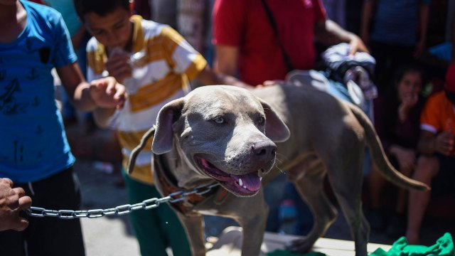 El pitbull, de ojos amarillos, dejó algunas novias por el camino (Foto: AFP).