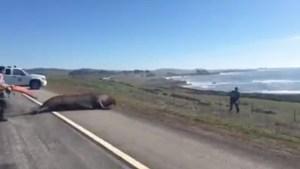 Las autoridades cerraron la carretera para que el elefante marino no fuera atropellado (Foto: Especial)