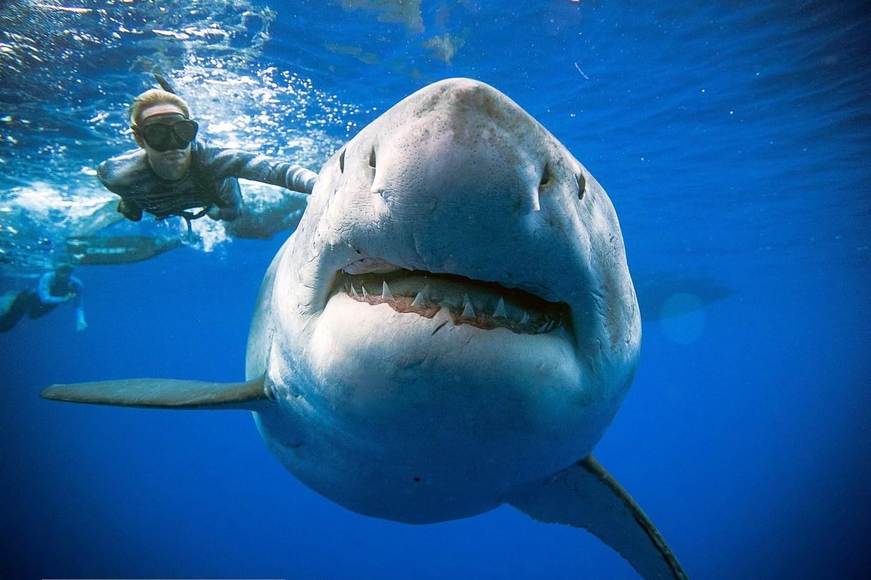 El ancho inusual de la tiburón hembra puede indicar que está preñada Foto: @JuanSharks /Juan Oliphant /http://OneOceanDiving.Com