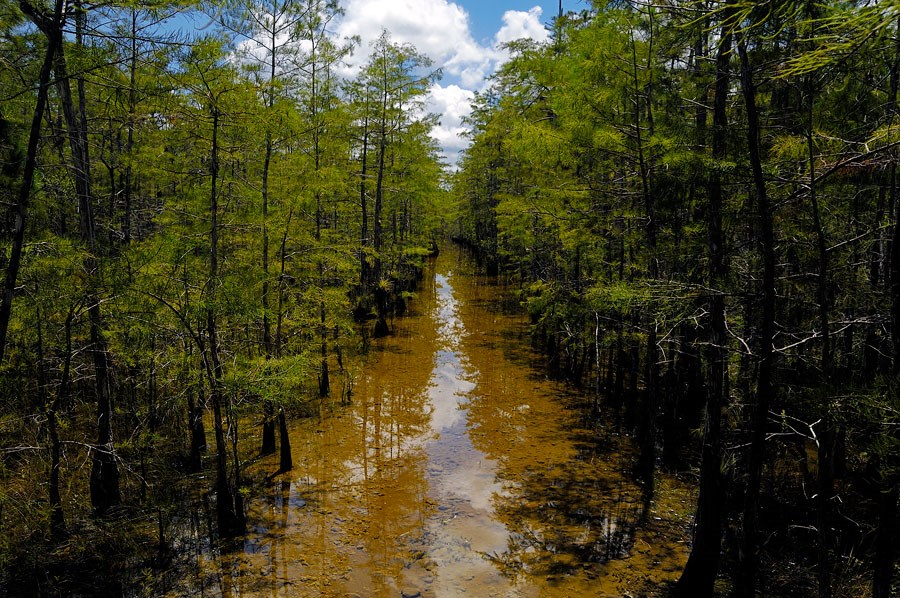 Los pantanos de big Cypress, en el sur de Florida (Foto: Servicio Nacional de Parques del gobierno de EEUU nps.gov)