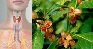 How Ashwagandha Helps Hypothyroidism