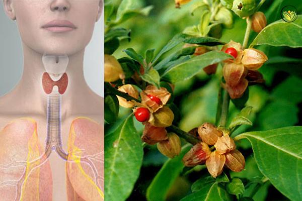 How Ashwagandha Helps Hypothyroidism