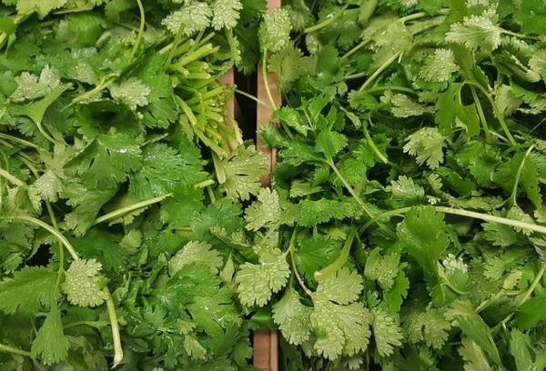 Cilantro uses, cilantro benefits, coriander uses, coriander benefits, cilantro vs coriander, how to grow cilantro.
